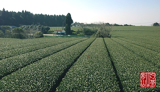 鹿児島 霧島 西製茶の畑