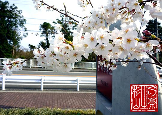 sakura-izukogen2013-2