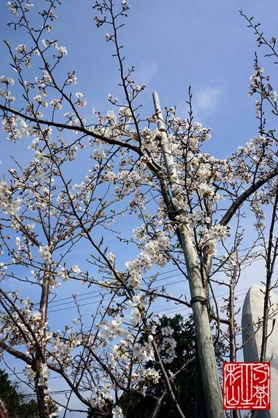 sakura-izukogen2013-3