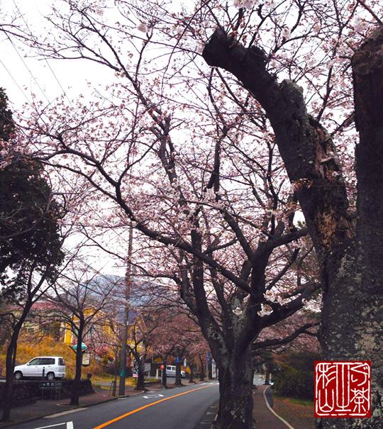 伊豆高原桜並木の様子 3/20