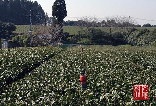 茶園のスプリンクラー