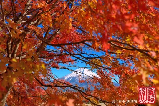 紅葉 富士山 田貫湖