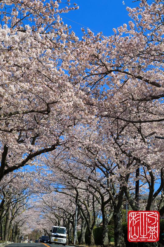 伊豆高原桜並木通り 2014