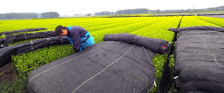 ティーバッグの味の決め手は、かぶせ製法で作られた茶品種の使用