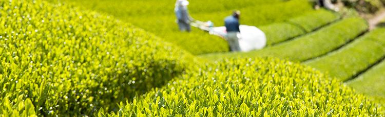 茶畑の写真。杉山製茶専属農園